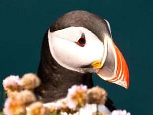 Puffin Tour Deluxe Boat Tour From Reykjavik